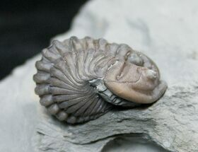 Recently Added Fossils For Sale