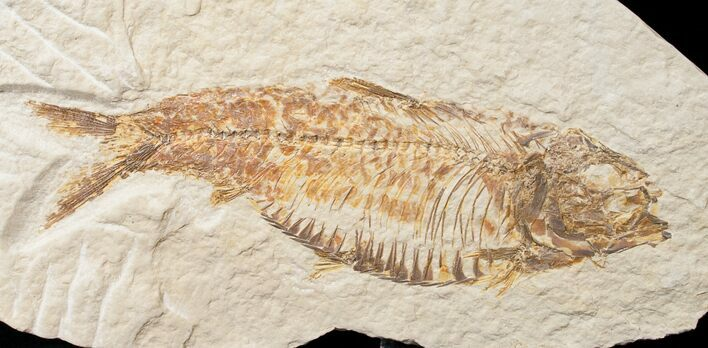 "Bargain 4"" Knightia Fossil Fish - Wyoming"