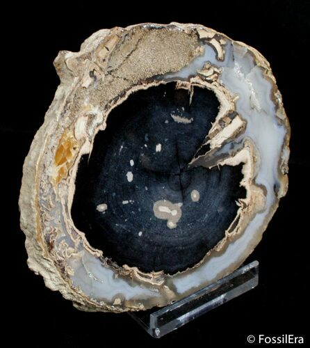 Blue Forest Petrified Wood Slice (3 inches)