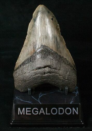 "Light Colored 4.98"" Megalodon Tooth"