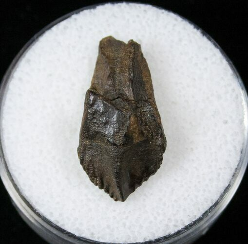 ".87"" Juvenile Triceratops Tooth - Partial Root, Little Wear"