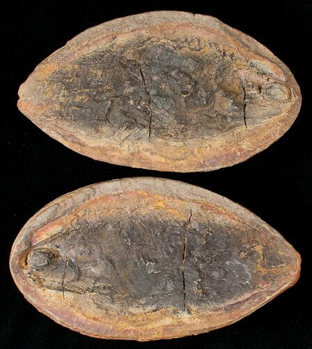 "5"" Triassic Fossil Fish (Boreosomus) In Concretion - Madagascar"