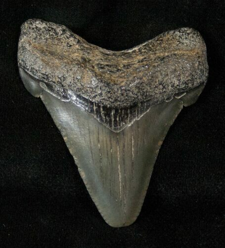 "Bargain 1.72"" Angustidens Tooth - Megalodon Ancestor"
