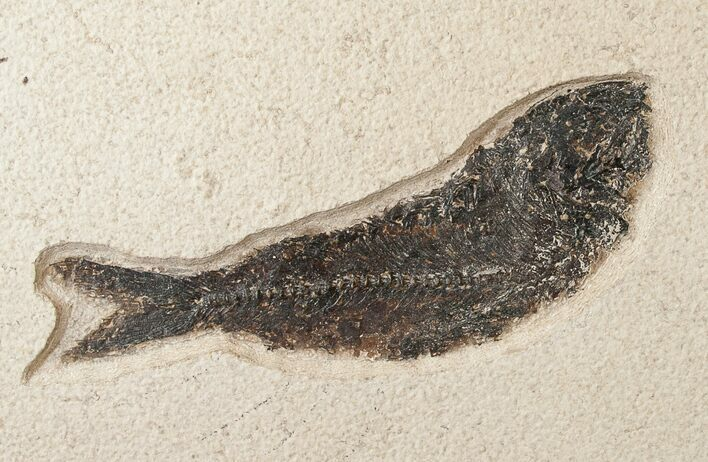 "Large 6.3"" Fossil Fish On Large Plate"