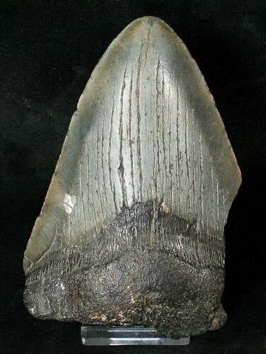 "Partial 4.4"" Fossil Megalodon Tooth"