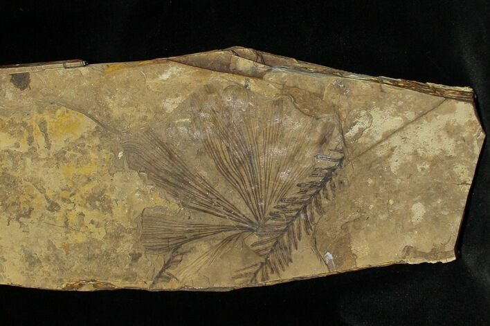 Ginko and Metasequoia Plant Fossils - Cache Creek