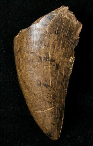 "Beautiful 1.68"" Tyrannosaur Tooth  - Montana"