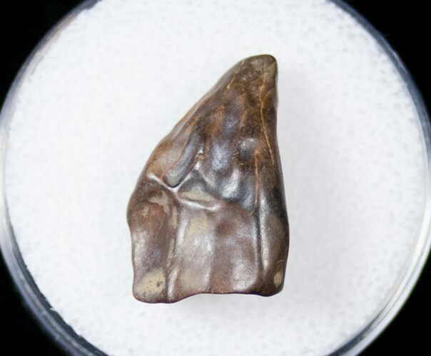 ".78"" Ceratopsid Tooth - Judith River"