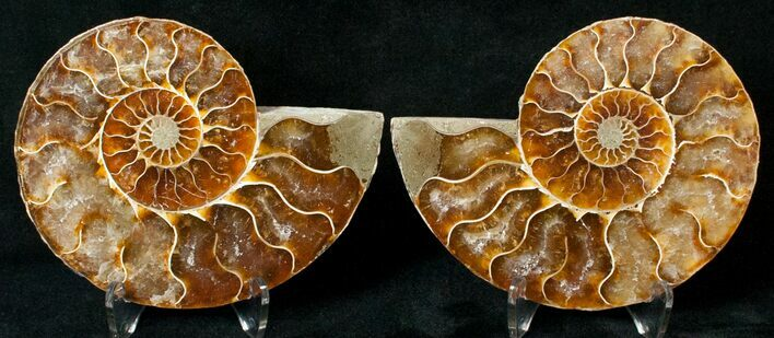 "3.36"" Polished Ammonite Pair - 110 Million Years"