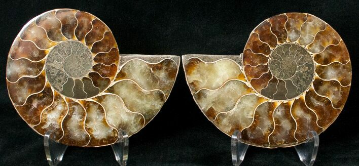 "3.67"" Polished Ammonite Pair - 110 Million Years"