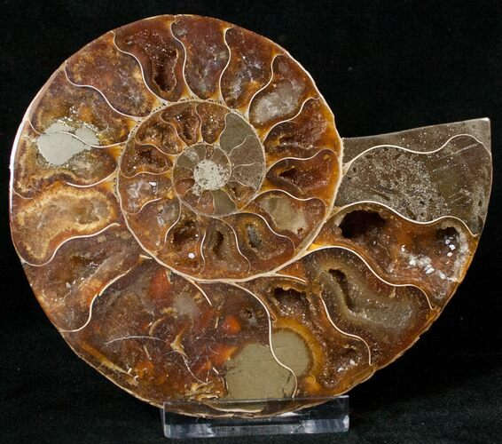 "4.17"" Agatized Ammonite Fossil (Half)"