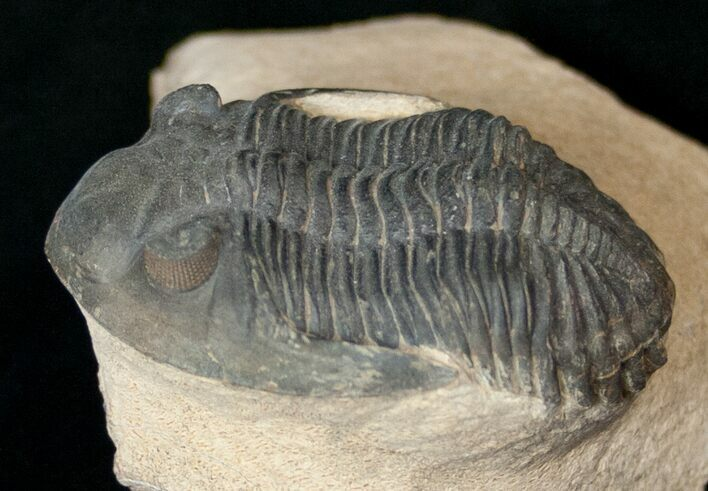 "Very Detailed 2.4"" Hollardops Trilobite - Foum Zguid"