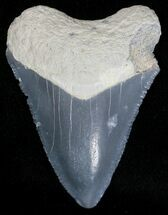 "Buy Serrated 1.65"" Bone Valley Megalodon Tooth - #18436"