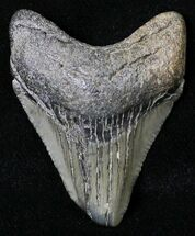 Carcharocles megalodon - Fossils For Sale - #18489