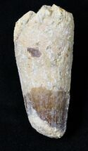 "Bargain 2.39"" Spinosaurus Tooth - Feeding Damage For Sale, #19004"