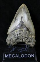 "Large 5.16"" Megalodon Tooth - North Carolina For Sale, #19382"