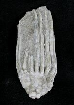 "1.6"" Macrocrinus Crinoid Crown - Indiana For Sale, #20000"