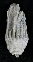 "Buy 1.4"" Macrocrinus Crinoid Crown - Indiana - #19999"