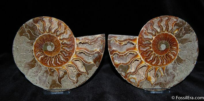 Beautiful 5.3 Inch Split And Polished Ammonite
