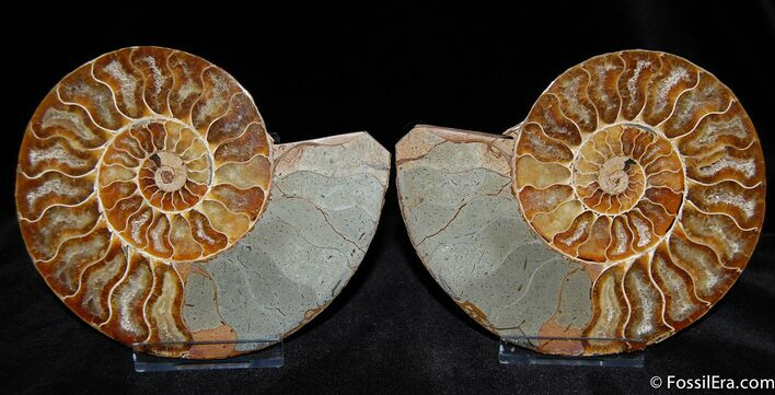 Brilliant Agatized Sliced and Polished Ammonite (Pair)