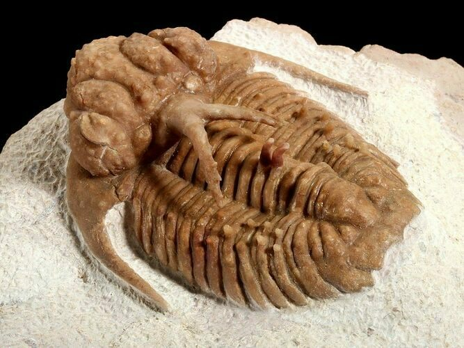 Spectacular Russian Trilobite Hoplolichoides
