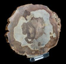 Sycamore - Fossils For Sale - #3186