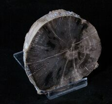 3 Inch Limb Slice From Mcdermitt, Oregon - Unpolished For Sale, #3260
