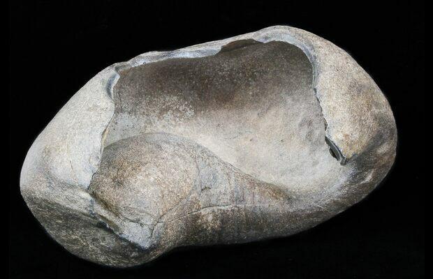 Fossilized whale inner ear bone